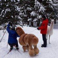 Селфи с очаровательными ламами на фоне зимы :: Ольга Русанова (olg-rusanowa2010)