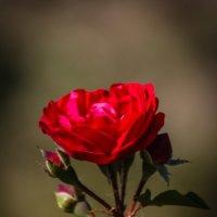 """""""...Роза красная цвела  гордо и неторопливо. ..."""" :: Андрей Нибылица"""
