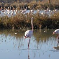 Фламинго :: Valerie