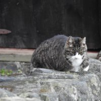 Деревенская кошка :: Natalia Harries