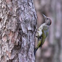 Дятел. Woodpecker. :: Юрий Воронов