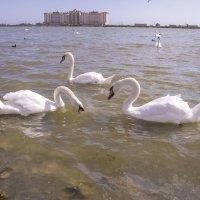 Лебединое озеро ( г. Евпатория Крым ) :: Сергей Поникаров