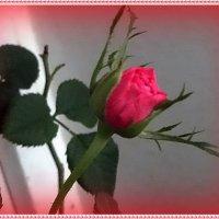 И все-таки розы меня любят! :: Вера
