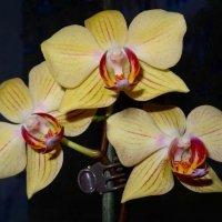 Желтая орхидея :: Натала ***