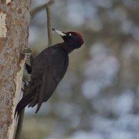 Желна. Black woodpecker :: Юрий Воронов
