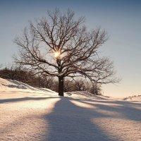 В зимней спячке дубы-колдуны до весны.. :: Андрей Заломленков