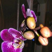 Орхидея :: Дарья Тищенко
