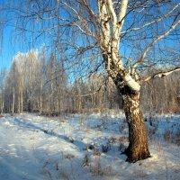 Белая берёза... :: Нэля Лысенко