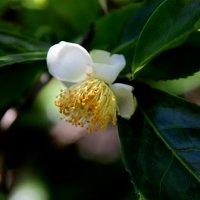 Цветок чая :: Любовь
