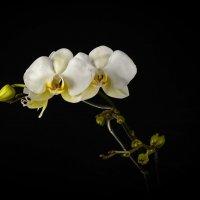 Орхидейка :: Евгений Хвальчев