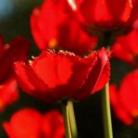 Красные тюльпаны — стрелы Любви. :: Татьянка *
