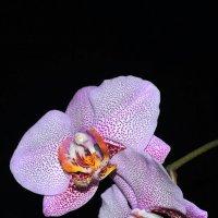 Капризные орхидеи! :: Валентина  Нефёдова
