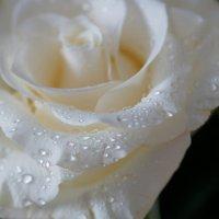 Роза :: Наталия Григорьева