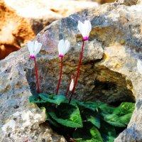 И на камнях растут цикламены :: Гала
