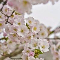 Прелестной сакуры цветы :: Ольга Винницкая (Olenka)
