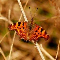 про рыжих бабочек  4 :: Александр Прокудин