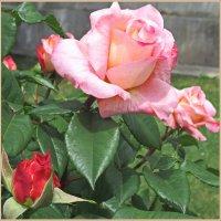 Прелестные розы :: Tamara *