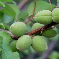 Молодые абрикосики :: kentiya