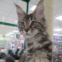 Котёнок мейн кун. :: Зинаида