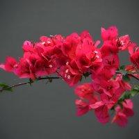Цветёт бугенвиллия на Санторини... :: Ольга Русанова (olg-rusanowa2010)
