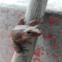 Tree frog :: Dmitry