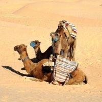 Отдых в пустыне. :: Зоя Чария