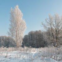 Белая береза. :: Геннадий Порохов
