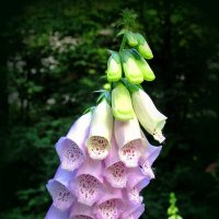 Наперстянка - ядовитое растение :: Сергей Карачин