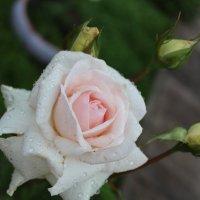 Роза :: Антонина Тыртышная (Гладких)