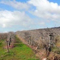 Яблочные сады . Февраль. :: Гала