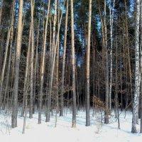 Февраль. Подмосковный лес. :: Мила