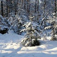 Зимний лес в пригороде Смоленска :: Милешкин Владимир Алексеевич