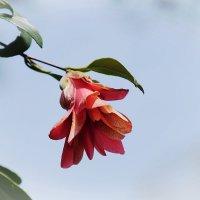 "Нагоя Ботанический сад Higashiyama. Camellia japonica ""Kujaku-Tsubaki"" :: Swetlana V"