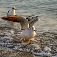 Просто чайка :: Нилла Шарафан