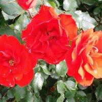 Красные розы. :: Валерьян Запорожченко