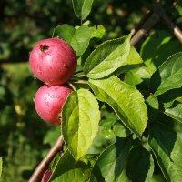 Уральские яблочки :: Нэля Лысенко