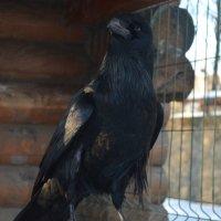 Великие Луки 13 февраля 2019... Хороший, редкий солнечный денёк был. Чёрный ворон... :: Владимир Павлов