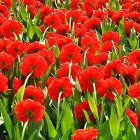 тюльпаны Миранда :: Лариса Крышталь