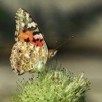 О бабочках :: Natali