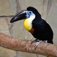 Черноклювый тукан. :: Валерий Подорожный