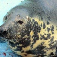 Балтийский серый тюлень :: Сергей Карачин