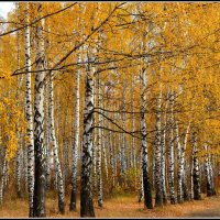Золото берез. :: Ольга Кирсанова