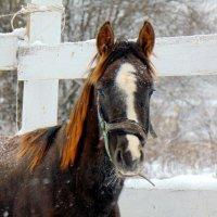 лошадь :: Юлия Ошуркова