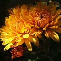 Три осенних  хризантемы :: Евгений БРИГ и невич