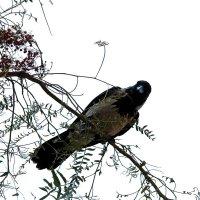 Ворона из Египта :: Любовь