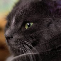 Портрет фотогеничного кота :: Artem