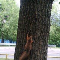белка на дереве :: Андрей