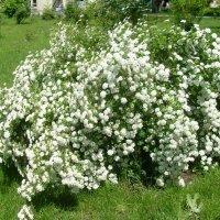 Белой фатой нарядилась весна. :: Нина Акарцева