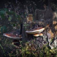 Пень с грибами :: Алексей (GraAl)
