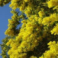 Мимоза в самом цвету, праздник мимозы :: Sabina